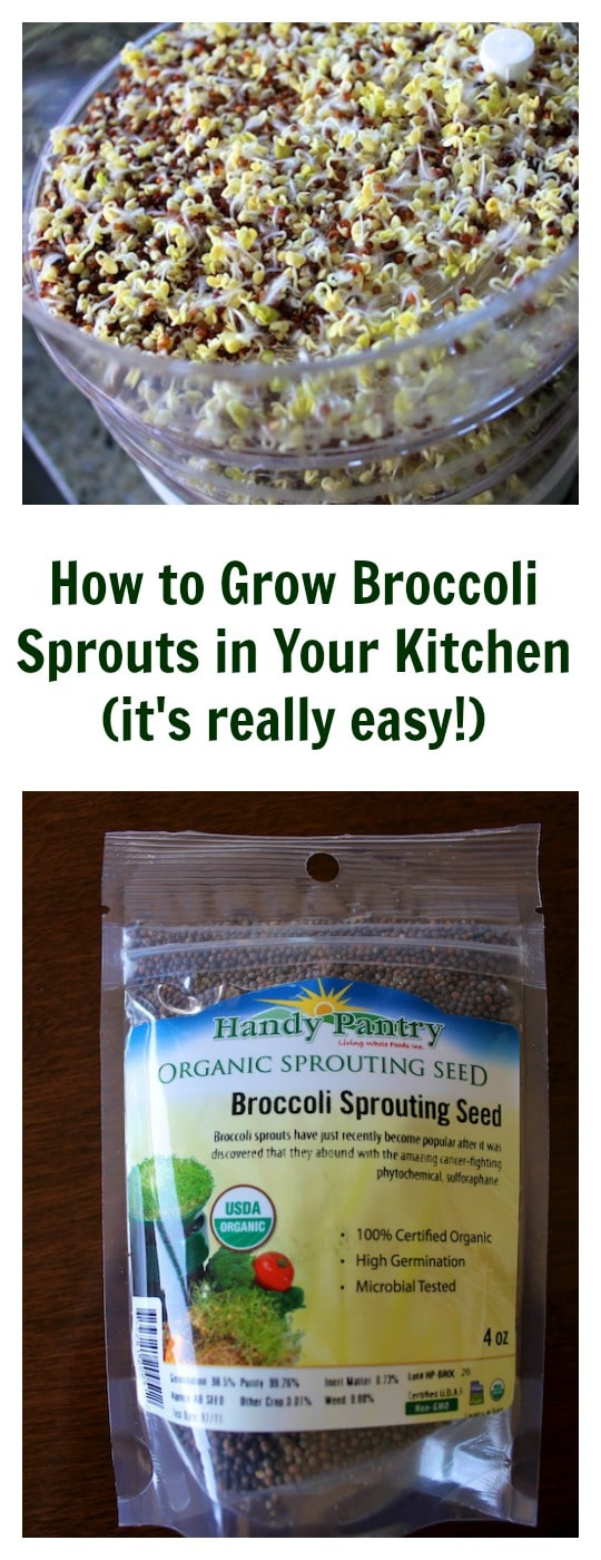 How to Grow Broccoli Sprouts in Your Kitchen from Carrie on Living | www.cleaneatingkitchen.com
