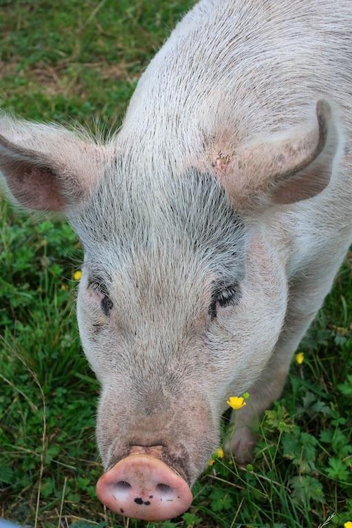 Cute piggie at Pigs Peace