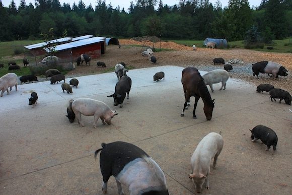 Carrot feeding time at Pigs Peace