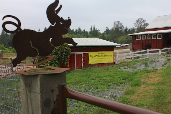 Pigs Peace Sanctuary in Stanwood, WA