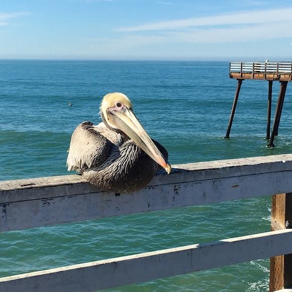Pismo pelican on the pier