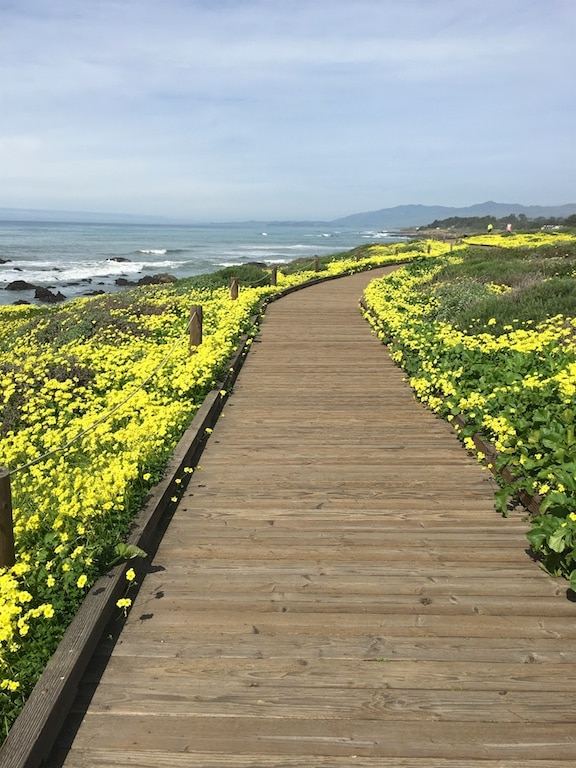 Cambria wildflowers