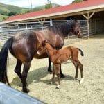 Foal nursing