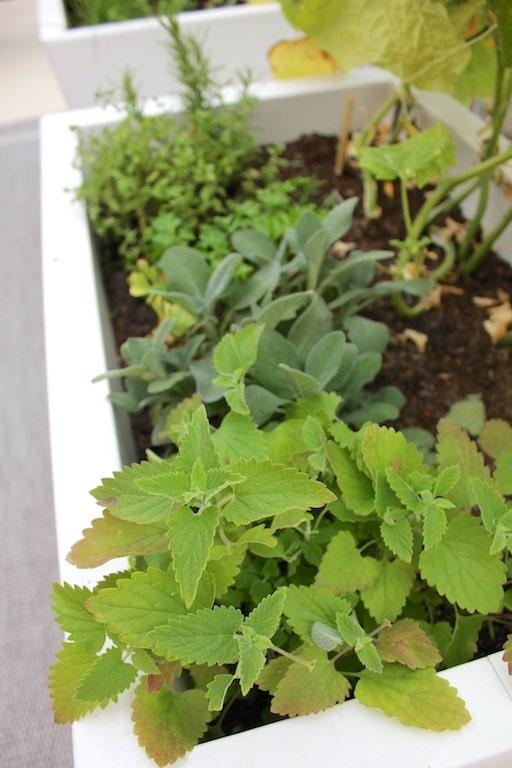 patio garden catnip