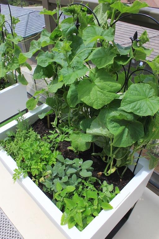 urban garden organic cucumbers