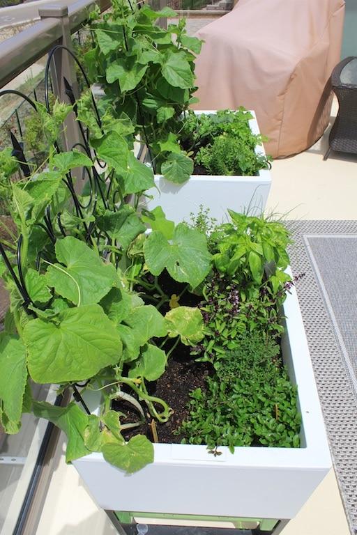 urben patio garden with vegetables including a trellis