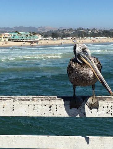 Pismo pelican
