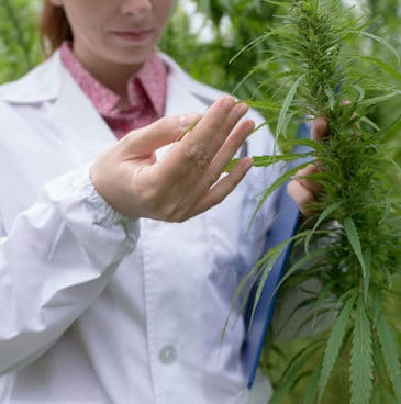 Female doctor with clipboard testing cannabis sativa flowers in the field