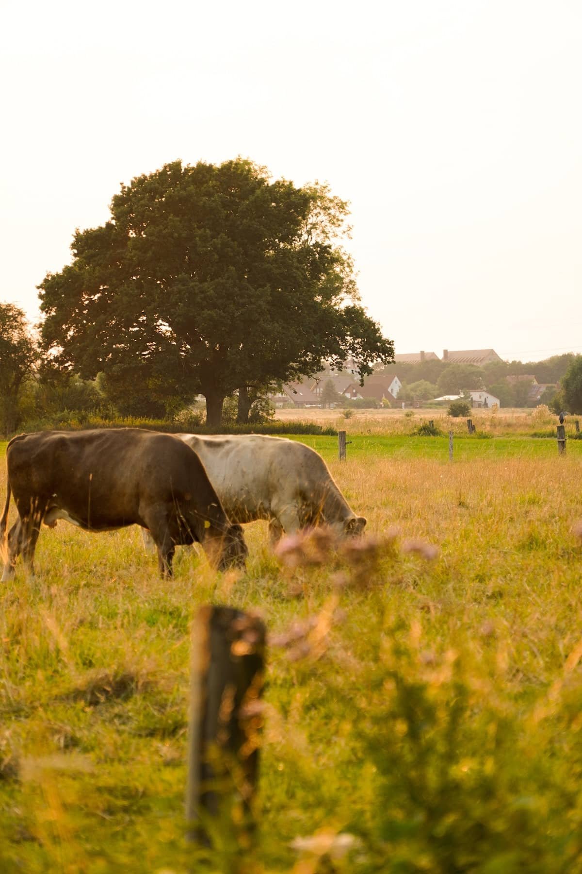 cows in field eating grass