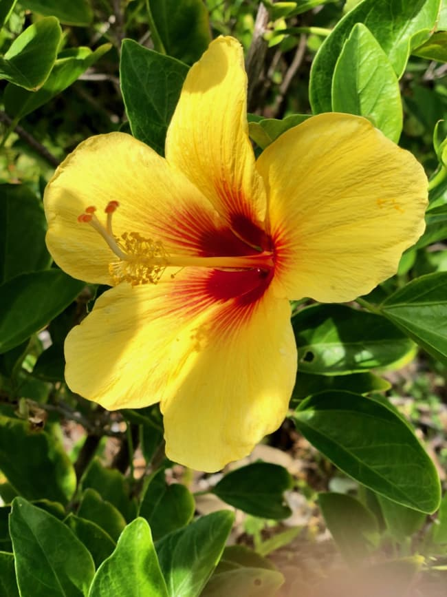 yellow maui hibiscus