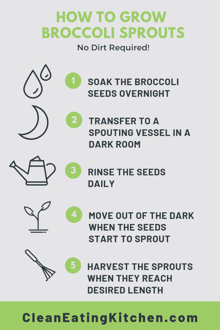 how to grow broccoli sprouts infographic
