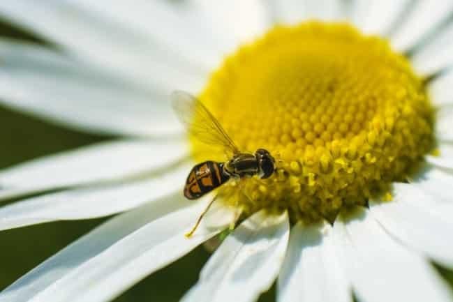 Bee pollen on daisy flower
