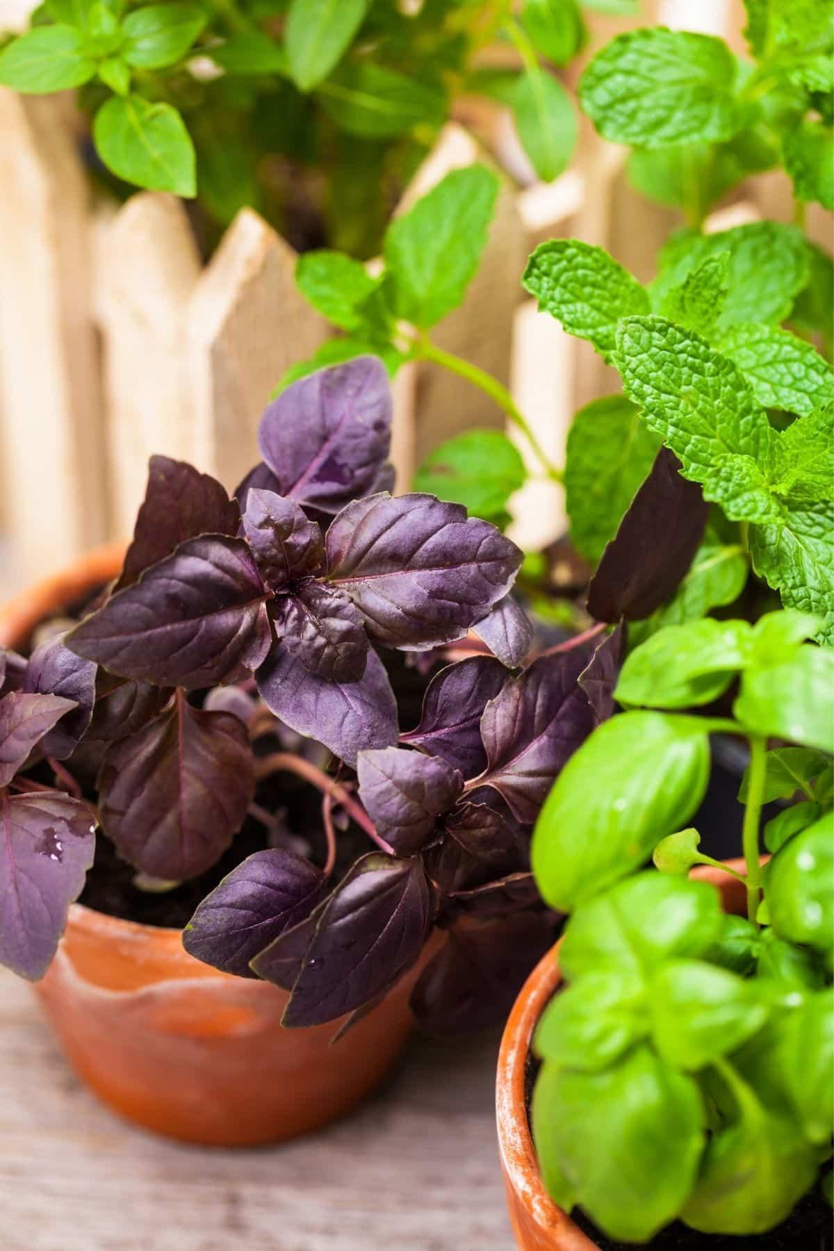 Purple basil and mint